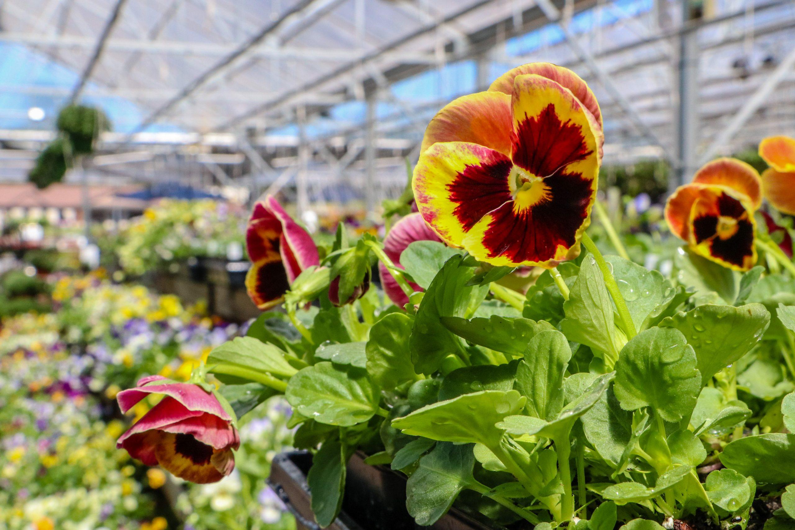 Pansies or Violas? Key Differences & Planting Advice